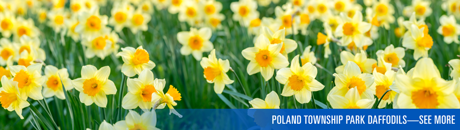 Poland Township Park Daffodils